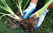 Perennial Splitting and Transplanting